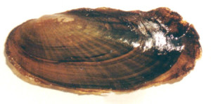 Scaleshale (Leptodea leptodon), one of several imperiled aquatic species of the Kiamichi River basin. Photo: Oklahoma Department of Wildlife Conservation